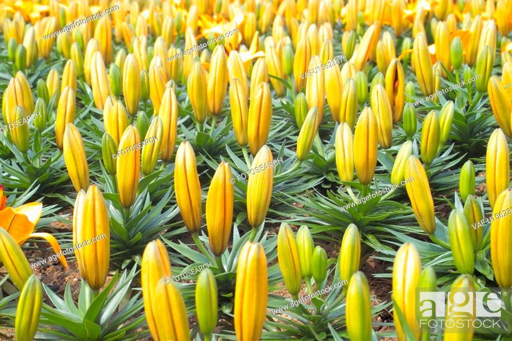 Stock Photo: flowertop, spring, lily, lilium, flower, flowerpeak, plant.