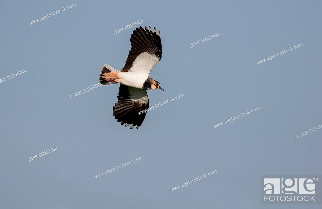 Imagen: Eurasian Lapwing (Vanellus vanellus) in flight against the sky, The Netherlands, Gelderland, polder Arkemheen.