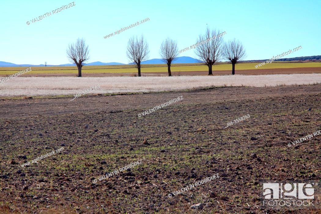 Stock Photo: Gallocanta wildlife reserve. Landscape with poplars in winter. Zaragoza.
