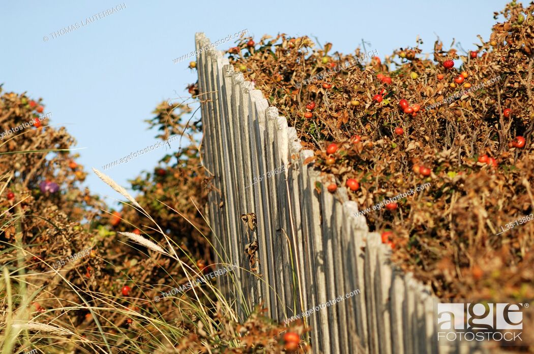 Stock Photo: White fence is over grown with rosehip, Sylt, Germany.