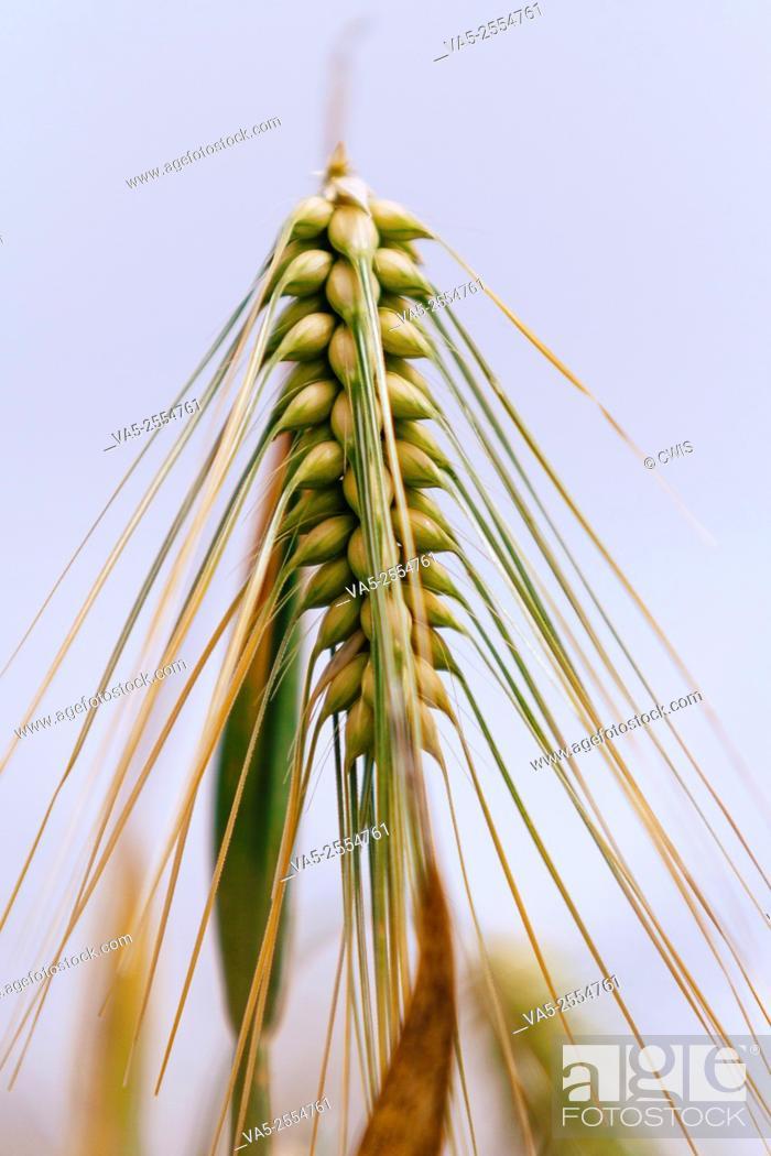 Imagen: Close up of a sprig of highland barley.
