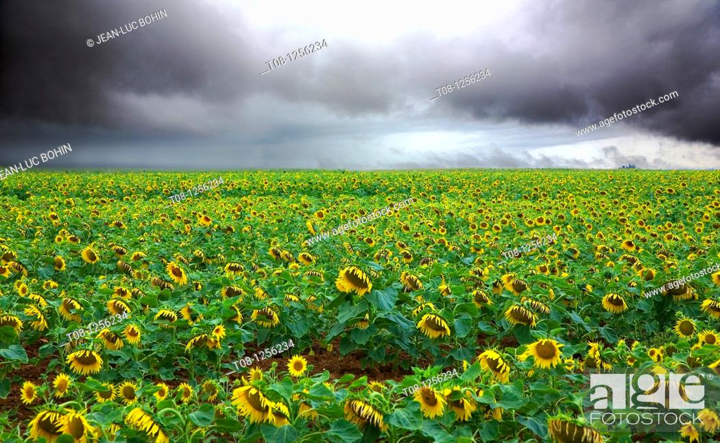 Stock Photo: France, 85, Vendee: A field of sunflowers under cloud.