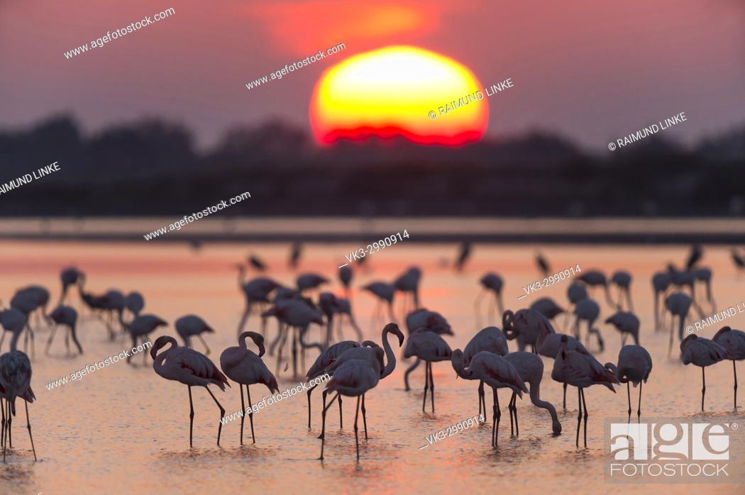 Photo de stock: European Flamingo, Great Flamingo, Phoenicopterus roseus, at Sunrise, Saintes-Maries-de-la-Mer, Parc naturel régional de Camargue, Languedoc Roussillon, France.