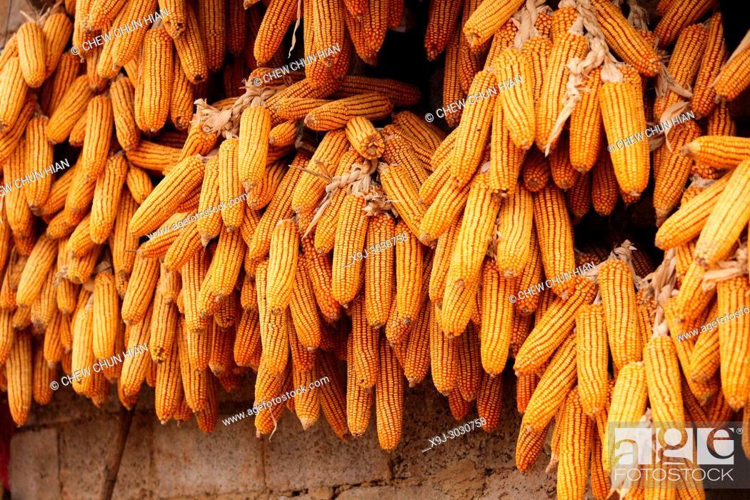 Stock Photo: Corn cobs drying, china, asia.