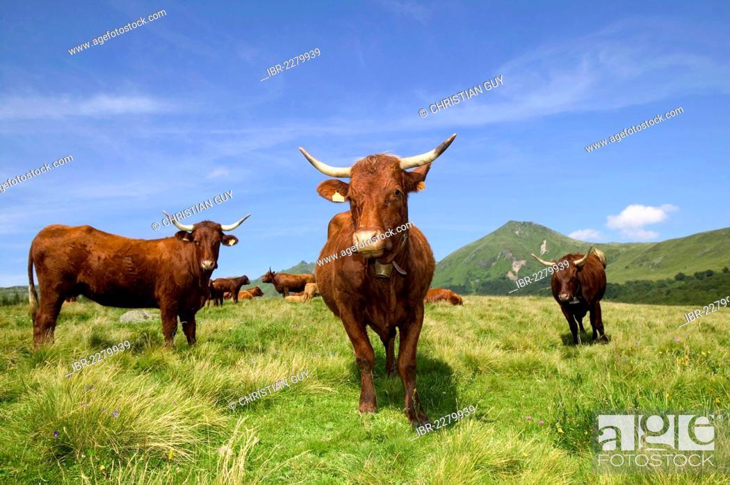 Stock Photo: Salers cows, Sancy mountains, Parc Naturel Regional des Volcans d'Auvergne, Auvergne Volcanoes Natural Regional Park, Puy de Dome, France, Europe.