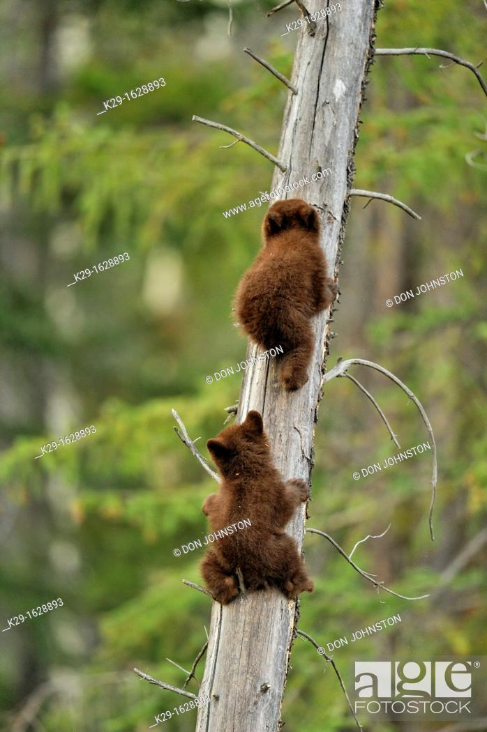 Stock Photo: American Black bear Ursus americanus Two young cubs playing in the safety of a dead snag.