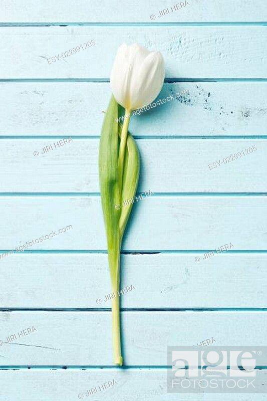 Stock Photo: white tulip.