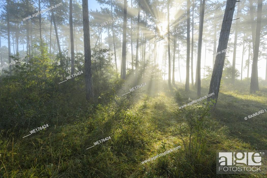 Imagen: Forest in the morning with fog and sun, Höhefeld, Wertheim, Baden-Wurttemberg, Germany.