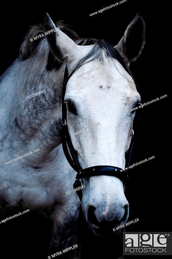 Stock Photo: Horse close-up.