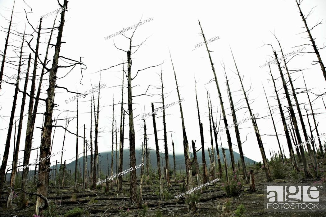 Stock Photo: Rows of bare trees in the Dead Forest near the Tolbachik Volcano, Russia.