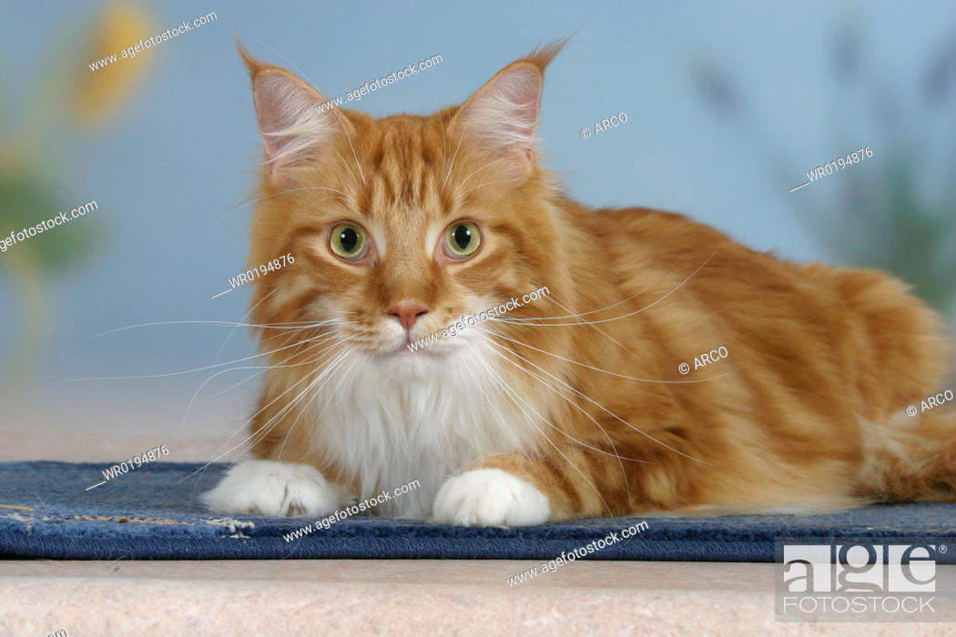 Stock Photo: Maine, Coon, Cat.