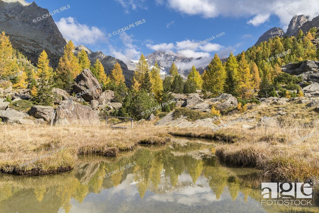 Stock Photo: Autumnal larches and Duino stream, with Disgrazia peak in the background. Preda Rossa, Val Masino, Sondrio province, Lombardy, Italy.