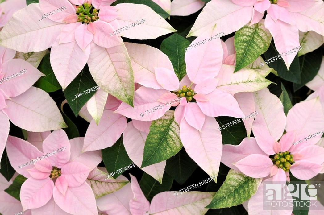 Stock Photo: Christmas star Euphorbia pulcherrima 'Princettia Pink'.