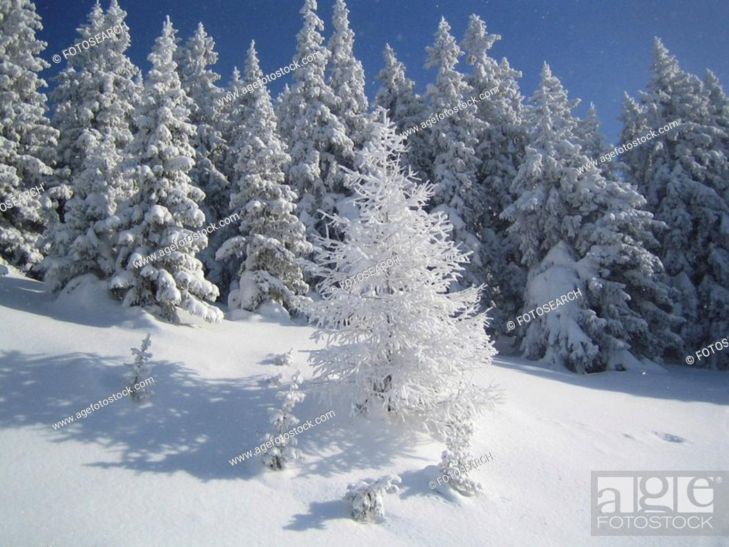 Stock Photo: jane, christmas tree, conifers, cold, clearing, Austria.