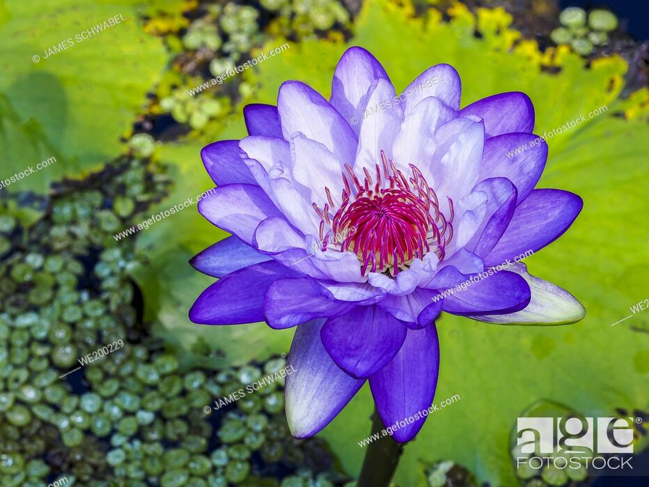 Stock Photo: Close-up of single Water Lily (Nymphaeaceae).