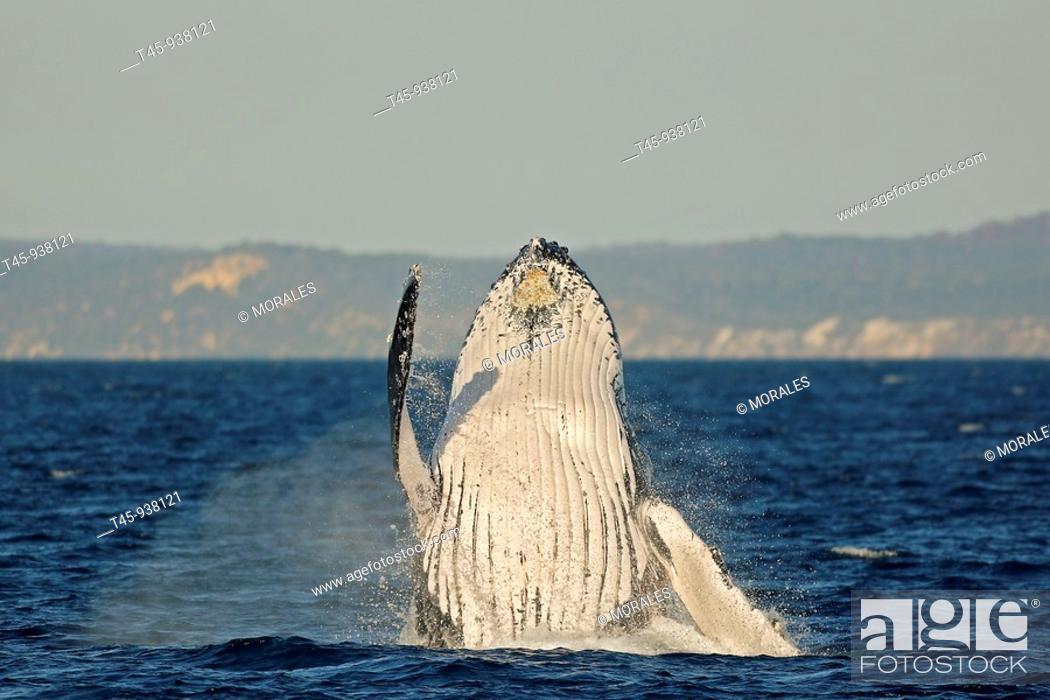 Stock Photo: Humpback Whale (Megaptera novaeangliae) breaching.