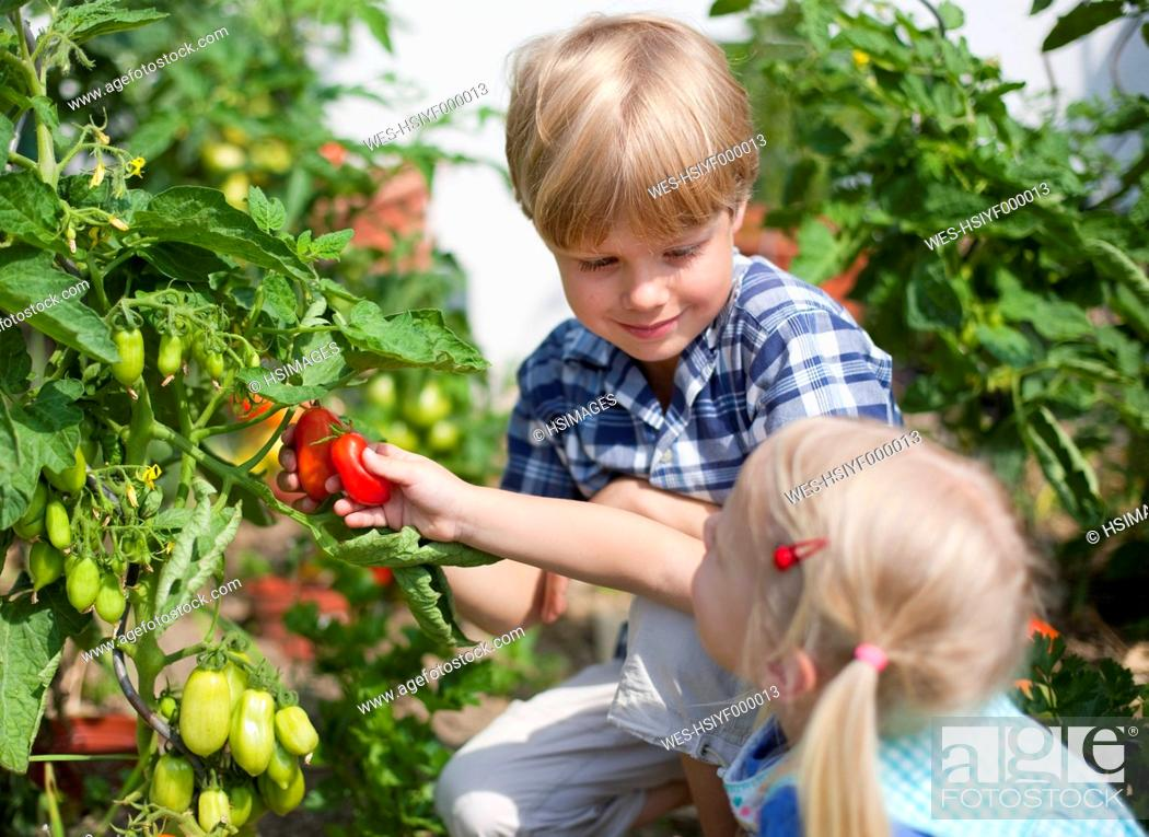 Stock Photo: Germany, Bavaria, Boy and girl picking tomatoes in garden.