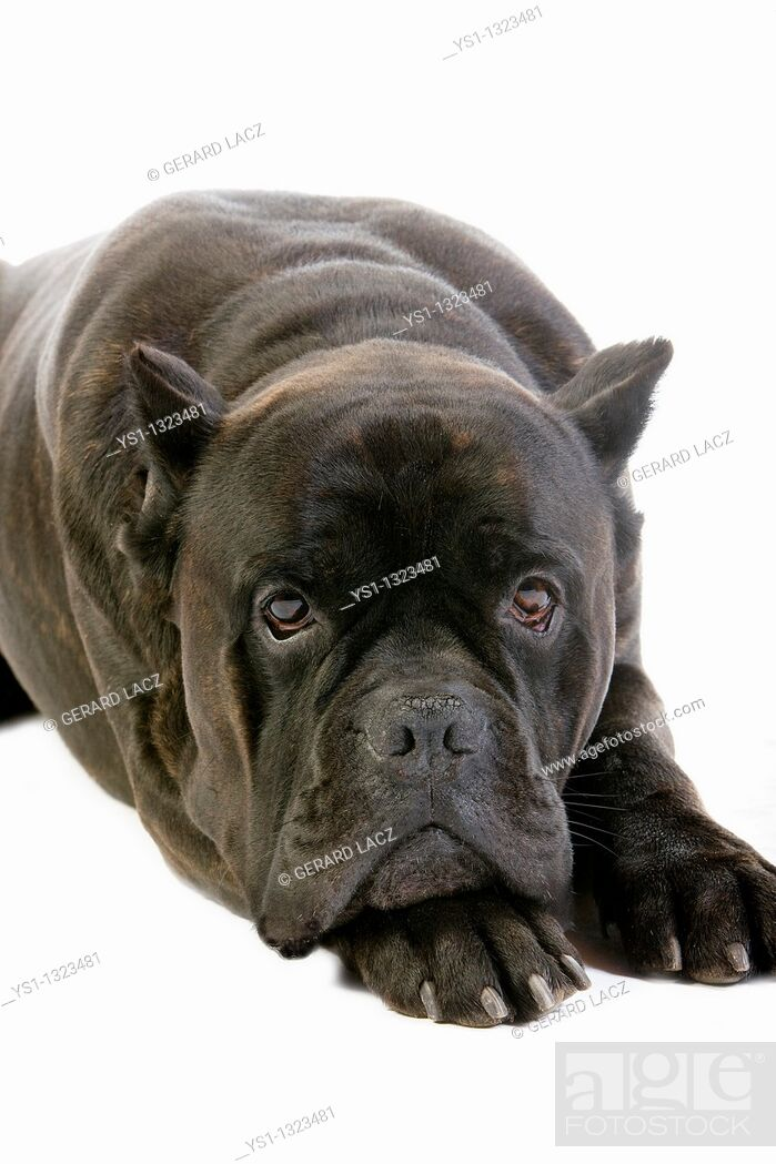 Stock Photo: CANE CORSO, A DOG BREED FROM ITALY, ADULT LAYING DOWN AGAINST WHITE BACKGROUND OLD STANDARD BREED WITH CUT EARS.