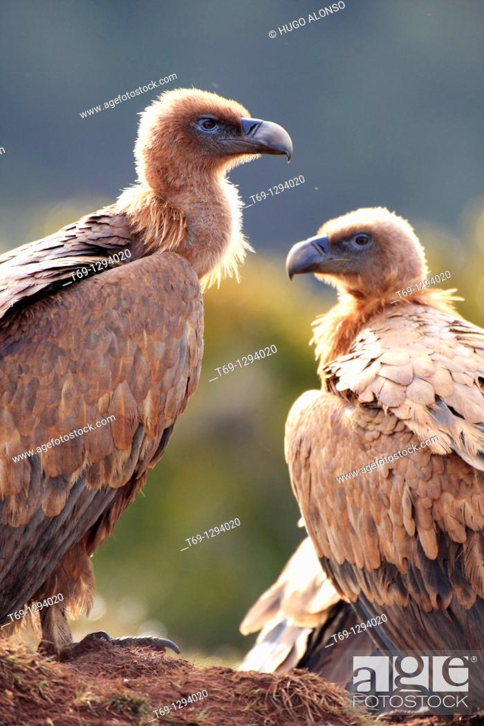 Stock Photo: Griffon Vultures (Gyps fulvus).