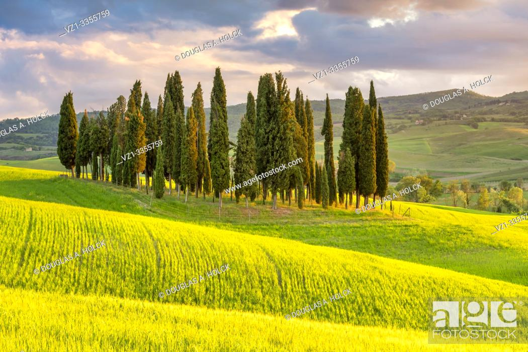 Imagen: In Tuscany, Italy, Cypress Trees and Rapeseed soak in the rays of the setting sun Val d'Orcia World Location.