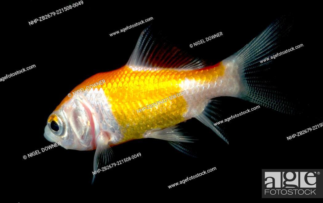 A Comet goldfish (Carassius auratus) swimming in an aquarium