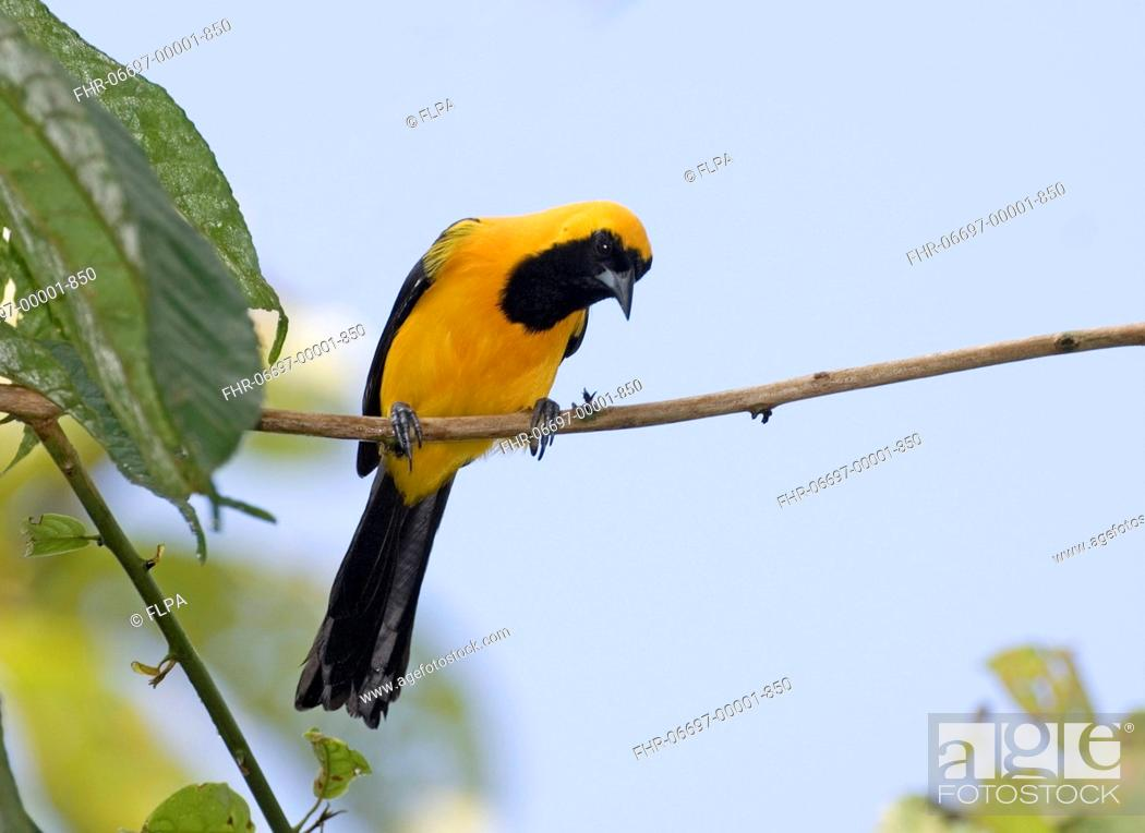 Stock Photo: Yellow-backed Oriole Icterus chrysater giraudii adult, perched on twig, Metro Park, Panama City, Panama.