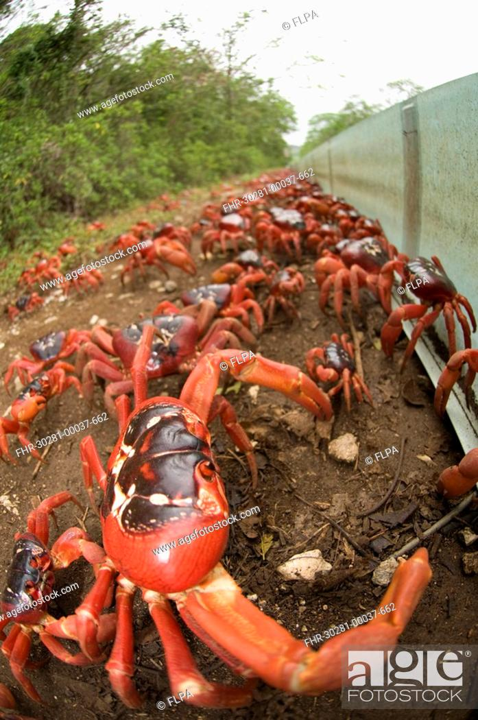 Christmas Island Red Crab.Christmas Island Red Crab Gecarcoidea Natalis Adults Mass