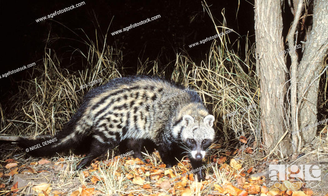Stock Photo: African Civet (Civettictis civetta), shy and nocturnal species. Kruger National Park, South Africa.