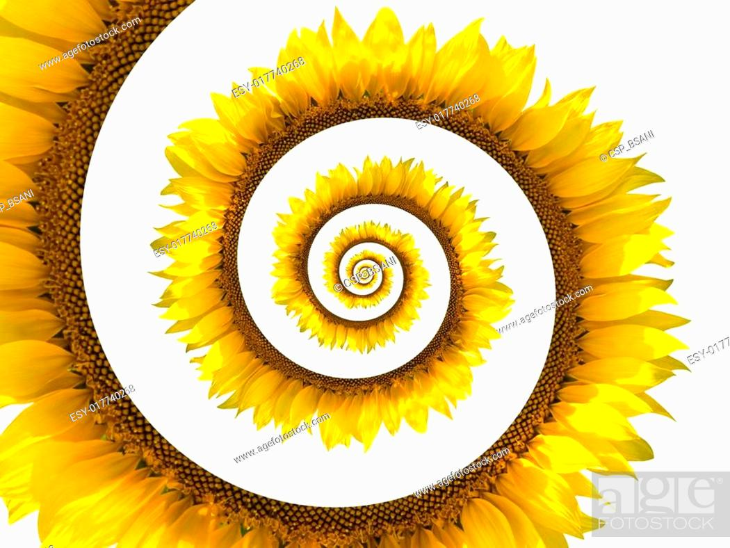 Stock Photo: Sunflower spiral.