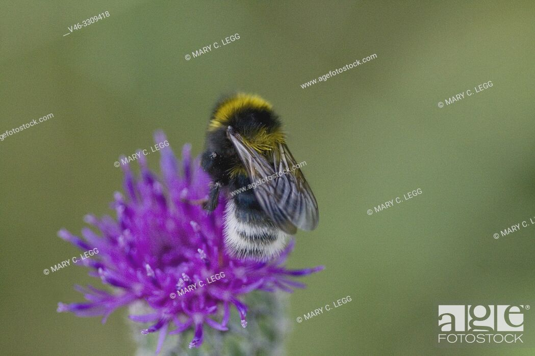 """Stock Photo: Bohemian Bumblebee, Bombus bohemicus. A white-tailed cuckoo bee with gold bands. Queen is15â. """"20mm in length. B bohemicus lacks pollen baskets on posterior."""