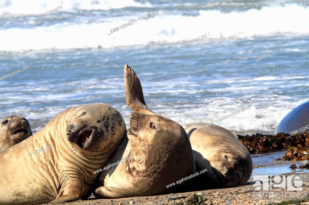 Stock Photo: Southern Elephant Seal Punta delgada  Valdes Peninsula   Province of Chubut  Argentina  Mirounga leonina  Order : Carnivora  Family : Phocidae.