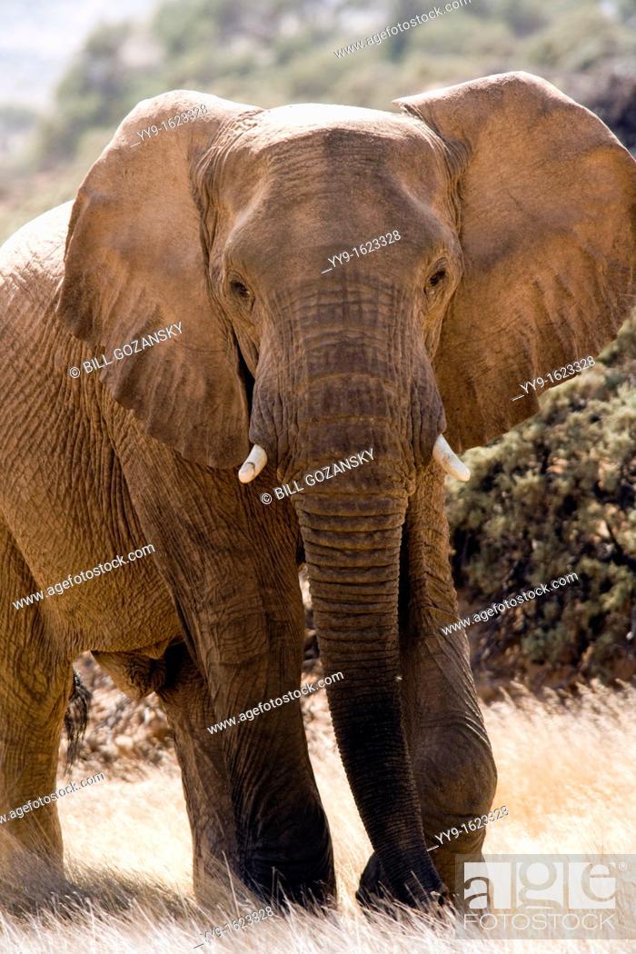 Stock Photo: African Elephant Desert-adapted - Huab River, near Twyfelfontein, Damaraland, Namibia, Africa.