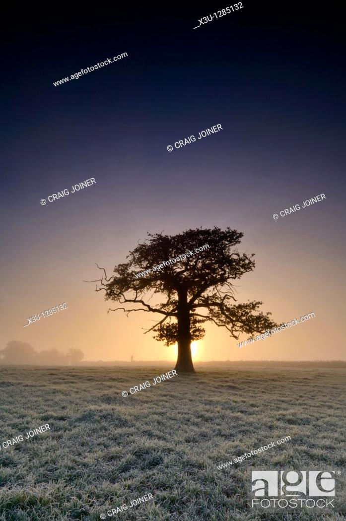 Stock Photo: A tree stands in frosty farmland at sunrise  Wrington, North Somerset, England United Kingdom.