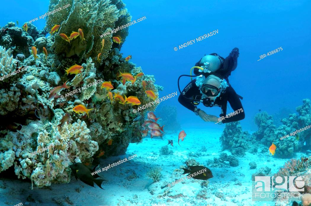 Stock Photo: Male scuba diver with a school of Longspine Anthias or Lyretail Anthias (Pseudanthias squamipinnis), Shark Reef, Yolanda Reef, Ras Muhammed National Park.