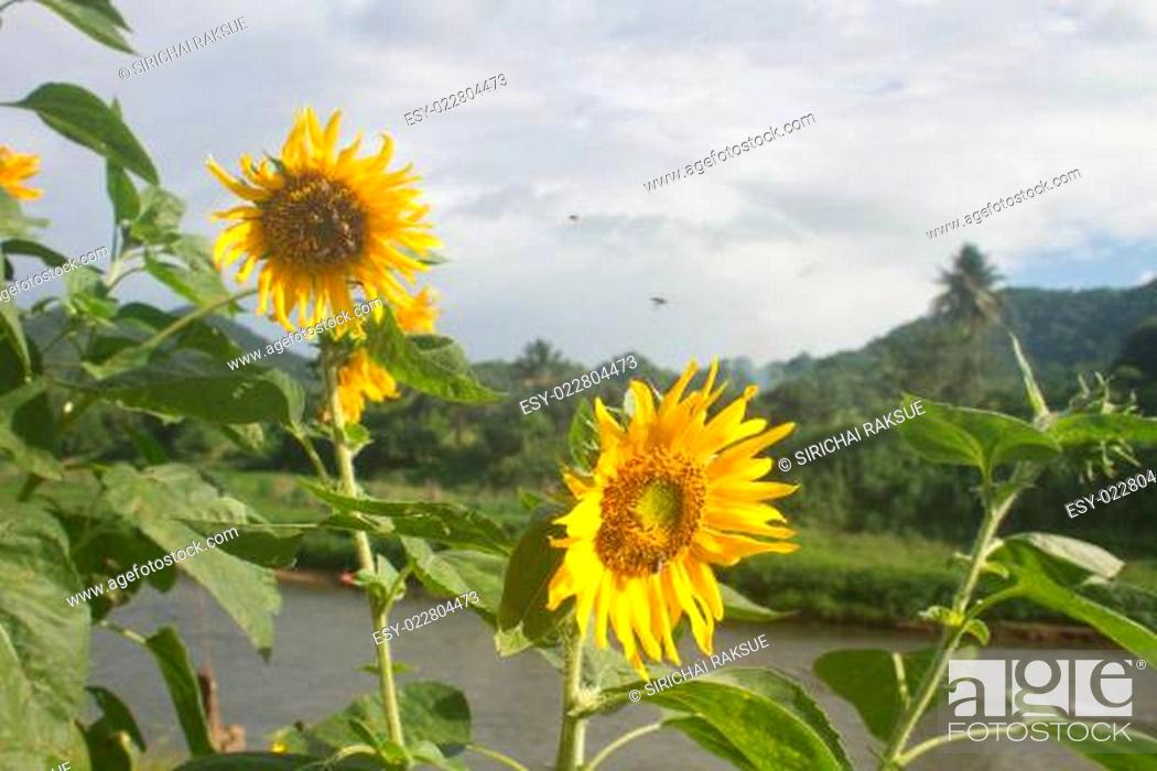 Stock Photo: beautiful sunflower in field and blue sky.