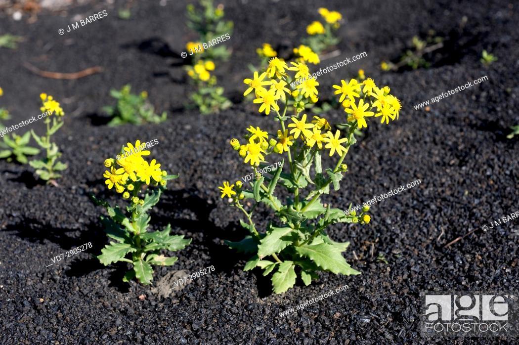 Stock Photo: Senecio leucanthemifolius or S. crassifolius is an annual herb native of Mediterranean Region and Canary Islands. This photo was taken in Lanzarote Island.
