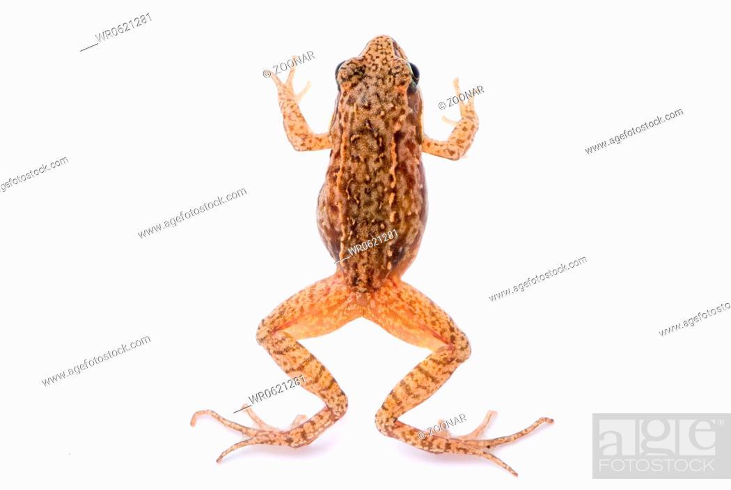 Stock Photo: Rana temporaria. Small Grass frog on white background.