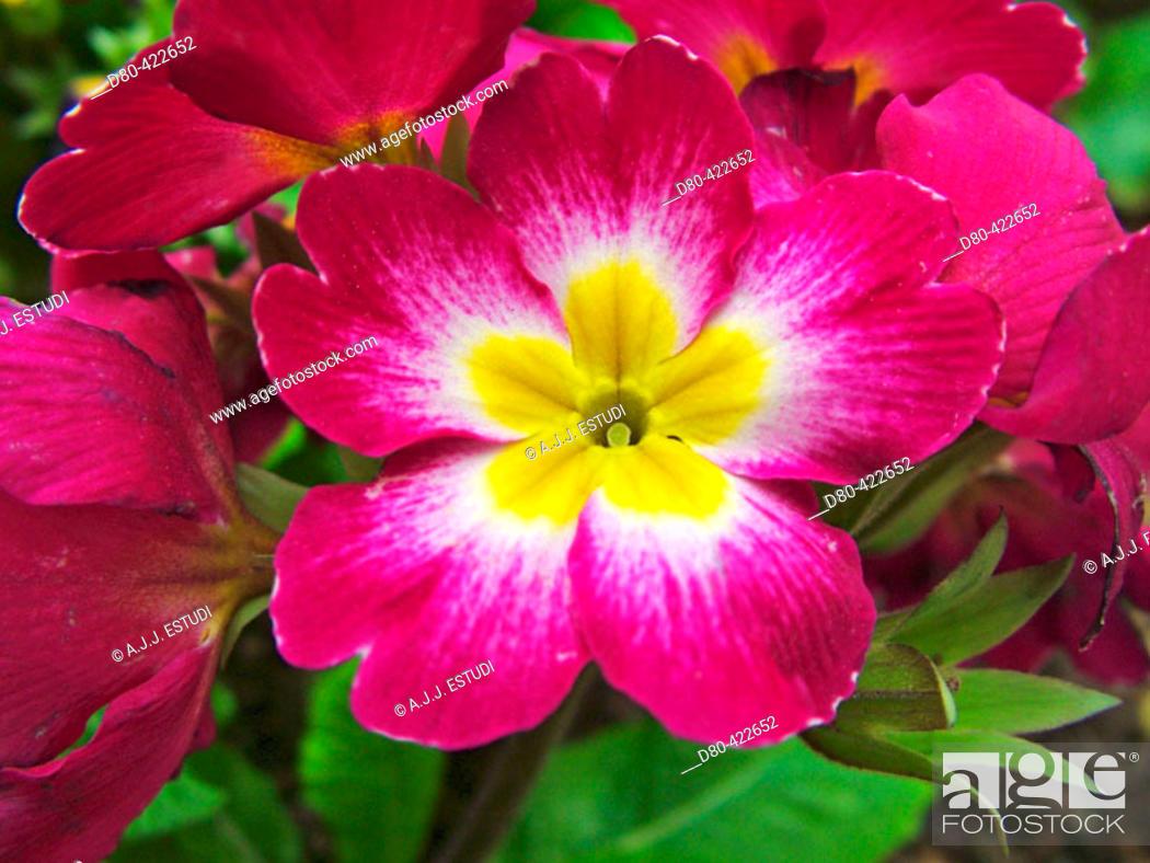 Stock Photo: Primrose (Primula acaulis ).