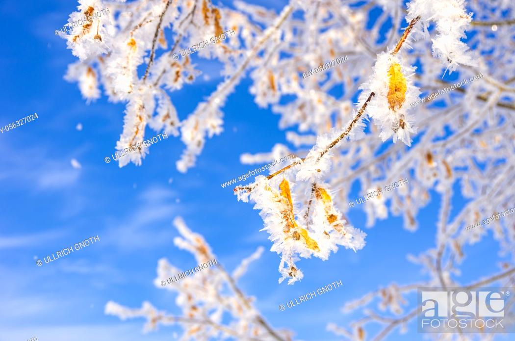 Stock Photo: Frozen leaves and twigs of a linden tree in winter before a blue sky.