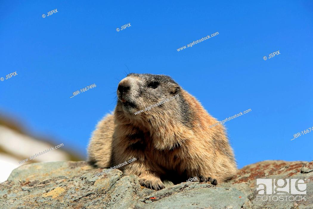 Stock Photo: Alpine Marmot (Marmota marmota), adult, resting on a rock, Grossglockner Mountain Range, Hohe Tauern National Park, Austria, Alps, Europe.