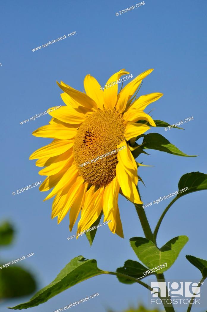 Imagen: Sonnenblume, mit blauem Himmel,.