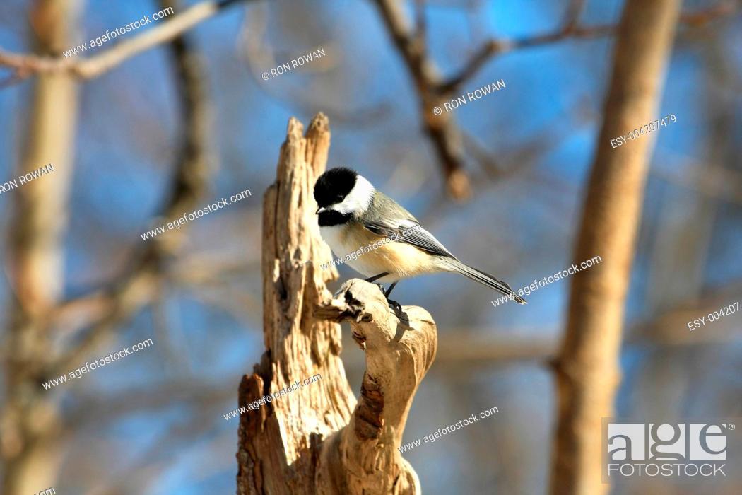 Stock Photo: Black-capped Chickadee.