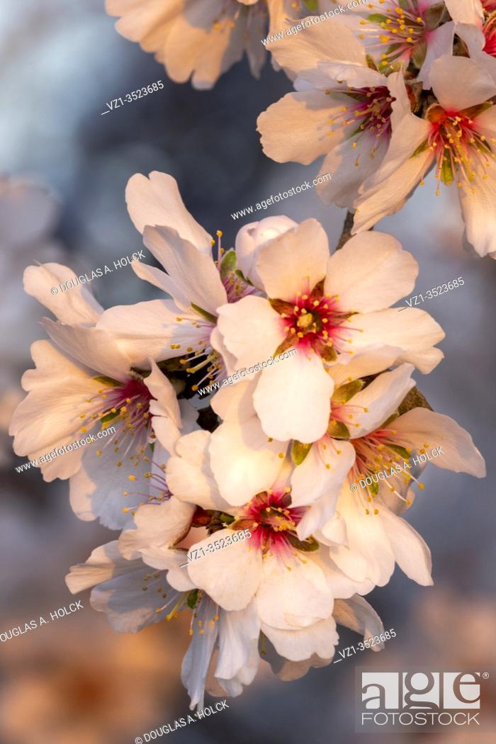 Imagen: Almond Blossom Sunset.