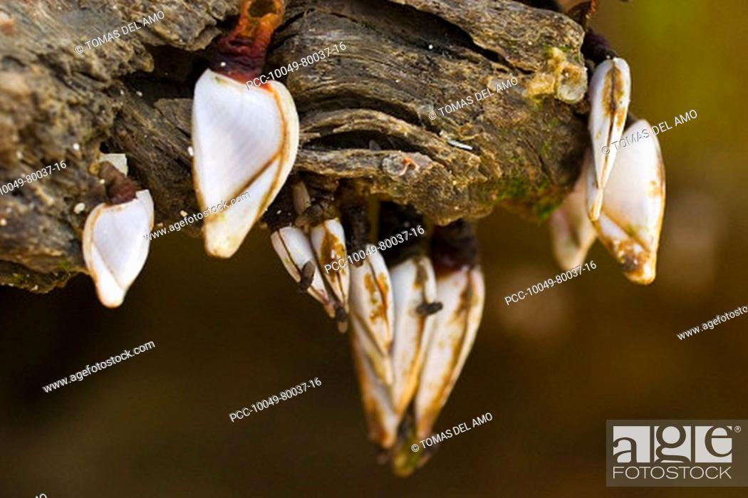 Stock Photo: Close-up of white barnacles clinging to a piece of weathered driftwood.