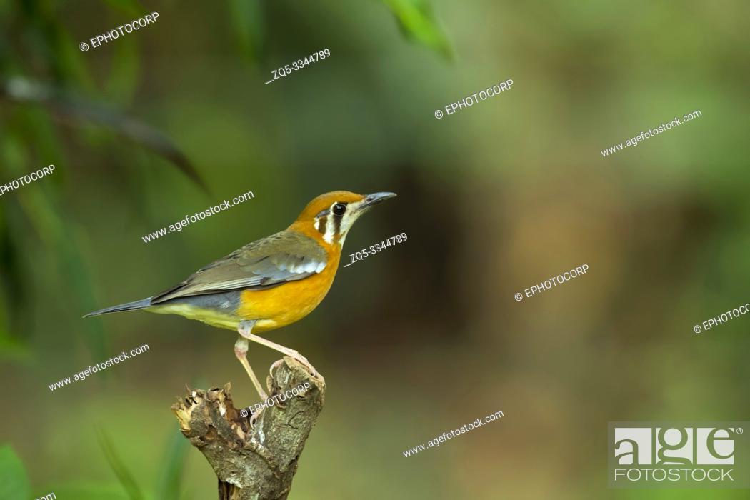Imagen: Orange-headed thrush, Geokichla citrina, Western Ghats, India.