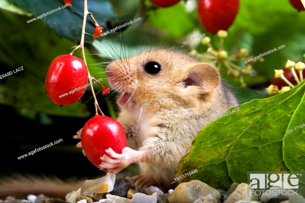 Stock Photo: Common Dormouse, muscardinus avellanarius, Adult Eating Berry, Normandy.