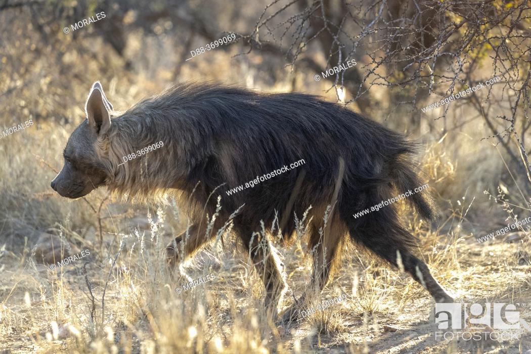Photo de stock: Africa, Namibia, Private reserve, Brown hyena or Strandwolf (Parahyaena brunnea, before Hyaena brunnea), captive.
