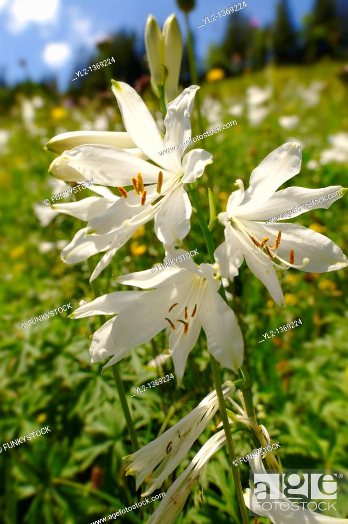 Stock Photo: St Bruno's Lily  Paradisea lilliastrum   Alpine summer meadow  Bernese Alps.