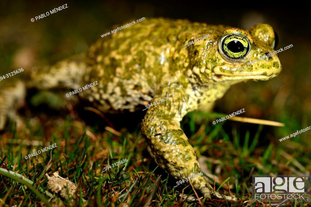 Imagen: Natterjack toad (Epidalea calamita) in a pond of Lozoyuela, Madrid, Spain.