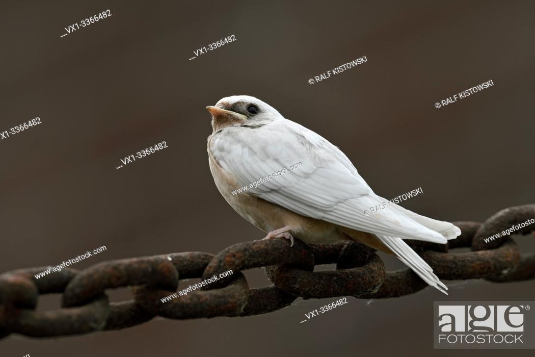 Stock Photo: Barn Swallow / Rauchschwalbe ( Hirundo rustica ), young, pigment defect, white plumage, leucistic, leucism, perched on a massive chain, side view.